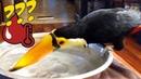 Тукан чистит клюв