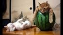 ПОПРОБУЙ НЕ ЗАСМЕЯТЬСЯ - Смешные Приколы с Животными до слез, смешные коты, funny cats 94