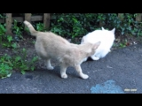 Cats Mating Fail - But she was pregnant and refused to him