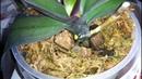 Быстрая реанимация орхидей. Что я использовала.