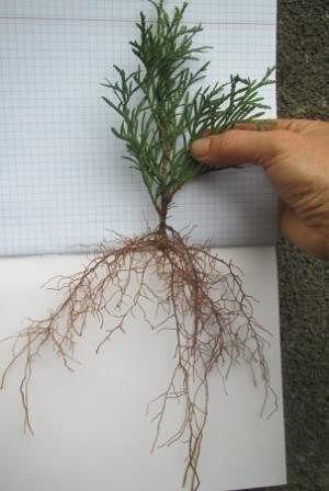 как вырастить тую из веточки я очень люблю вечнозеленые растения из-за их круглогодичной декоративности. но, к сожалению, посадочный материал таких растений стоит недешево, поэтому я освоила