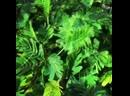 Красавица мимозастыдливая mimosapudica 😻 вызывает восторг у детей и взрослых, благодаря своему необычному свойству складыват
