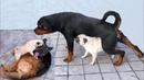 КАК МОПС ДОСТАЛ НЕМЕЦКУЮ ОВЧАРКУ И РОТВЕЙЛЕРА. Funny pug, rottweiler and german shepherd.