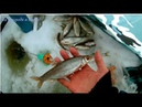 Удачная рыбалка. Елец, отличный клёв.