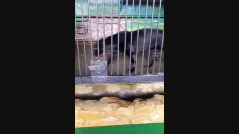 черный ягуар (пантера)
