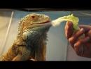 Игуана Семён подкрепляется капусткой