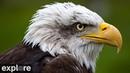 Веб камера у северного гнезда белоголовых орланов Декора Айова