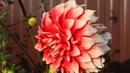 Георгины - лучшие сорта Часть 1 Цветы сентября