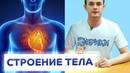 АНАТОМИЯ ЧЕЛОВЕКА. Расположение органов человека ЭВРИКИ