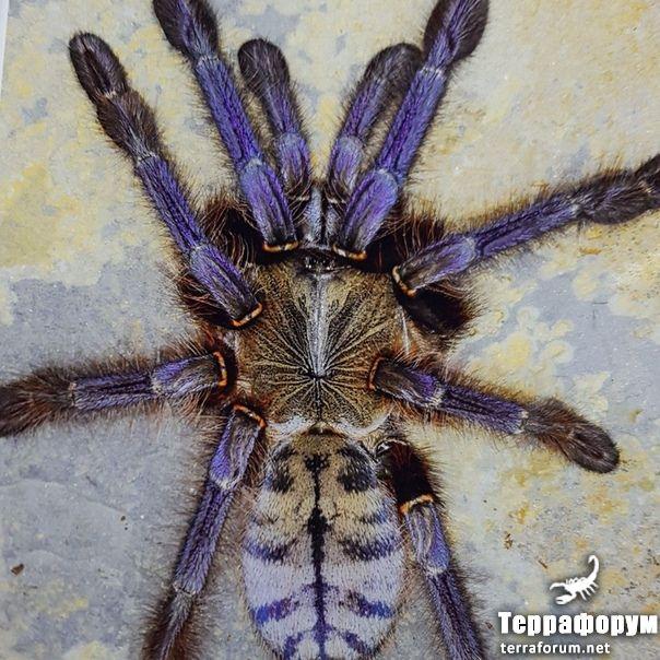 Phormingohillus sp sаbаh bluе