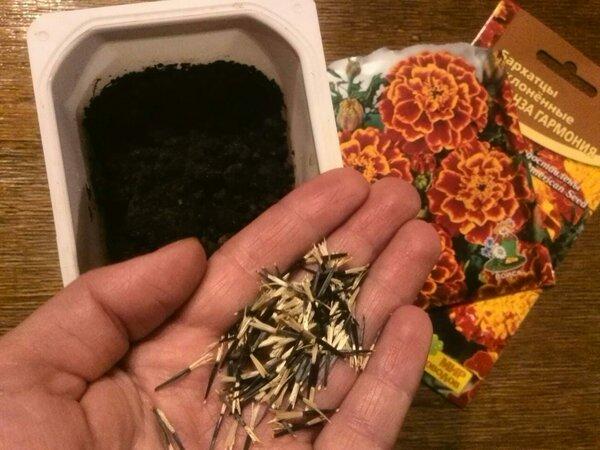 5 маленьких секретов при выращивании рассады бархатцев.