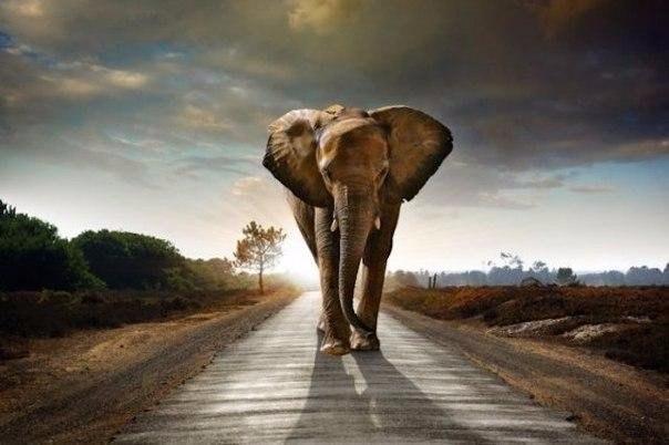 Слоны — единственные животные, у которых есть ритуал захоронения. Как известно, только у слонов, людей и неандертальцев есть ритуал захоронения. Обычно продолжительность жизни слона составляет
