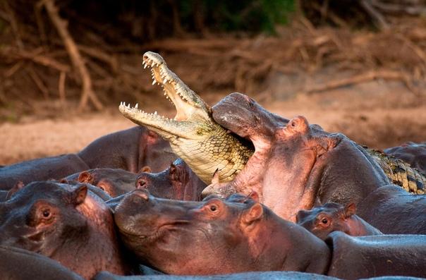 Крокодил пытался подкрасться к стаду бегемотов, чтобы утащить детеныша, но встретил достойный отпор