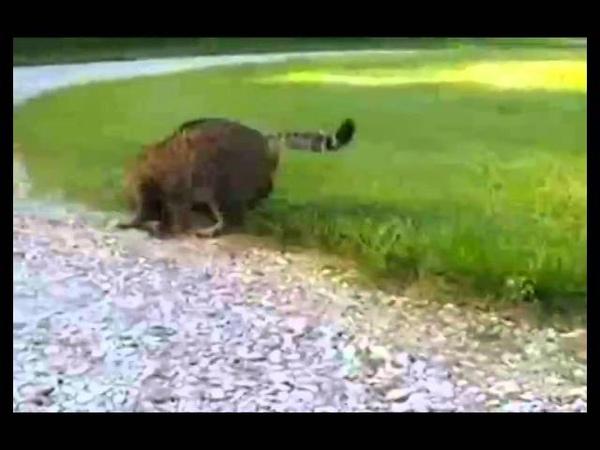ПРИКОЛ ! Бурундук одержал победу в схватке с котом.Humour with animal Cat and Chipmunk