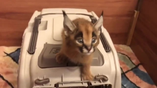 Scared cat coub