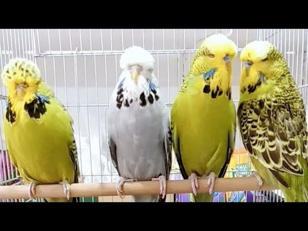 Muhabbet Kuşu Show Jumbo üretmek ve bakımı