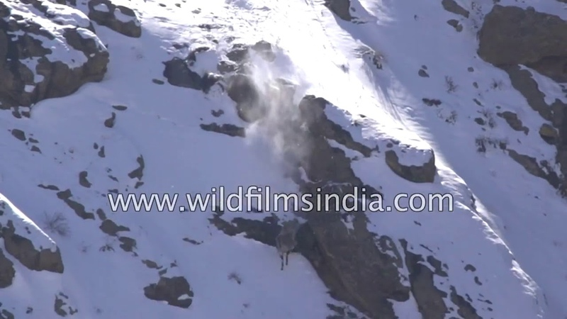 Снежный барс охотится на сибирского козерога в Гималаях невероятное видео