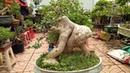 6 cây cảnh tiền tỉ trong hội chợ cây cảnh ở Bắc Giang