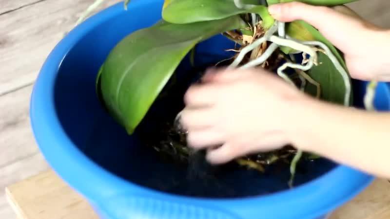 Как пересадить орхидею в домашних условиях.