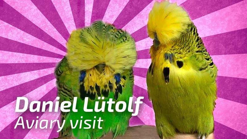 Daniel Luetolf Switzerland 11 2016 Part2 2 Aviary Visit 🌍Budgie Planet Exhibition Budgies