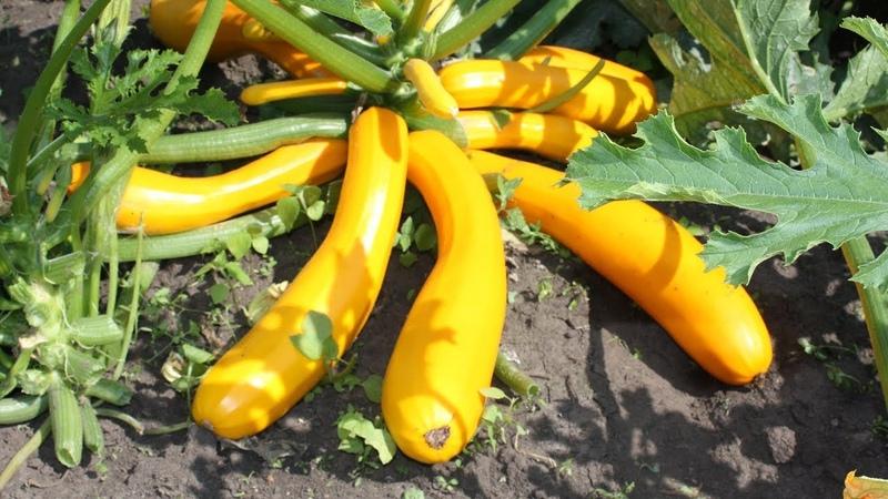 Вкусные урожайные кабачки Правила выращивания и сорта