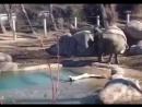 Слоненок против гуся - неравная битва