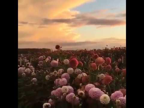 Поле цветов на заре Revelation (Георгины)