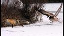 Приколы, неудачи и необычные случаи на охоте. Встреча с дикими животными часть 5