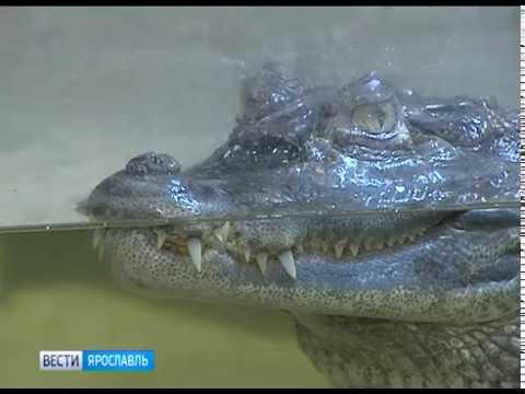 Лисы еноты и крокодилы необычные домашние животные ярославцев