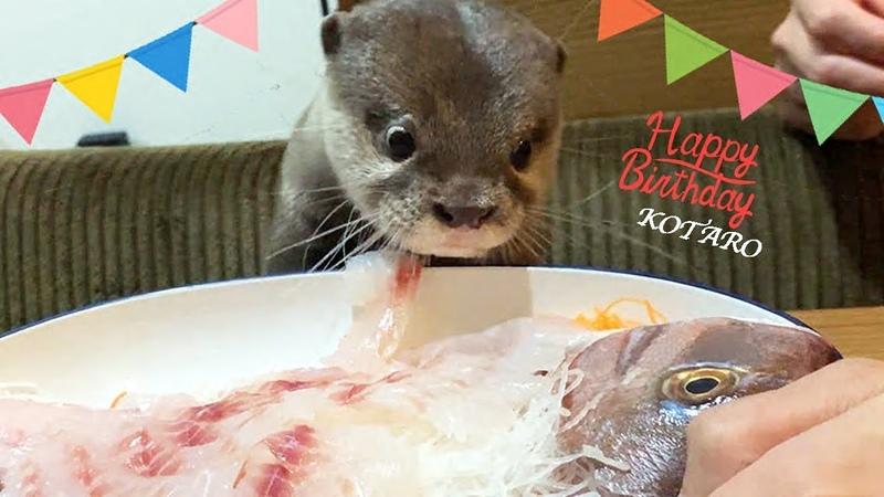 カワウソ コタロー 誕生日おめでとう!鯛の姿造りと刺身盛に大興奮!! Kotaro the Otter Happy 1st Birthday!
