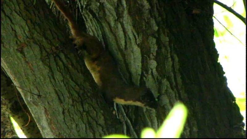 Mustela felipei - Colombian Weasels