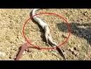 Horrifying moment a 13 ft king cobra regurgitates a huge monitor lizard