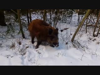 Кабан и дрон - инцидент в лесу