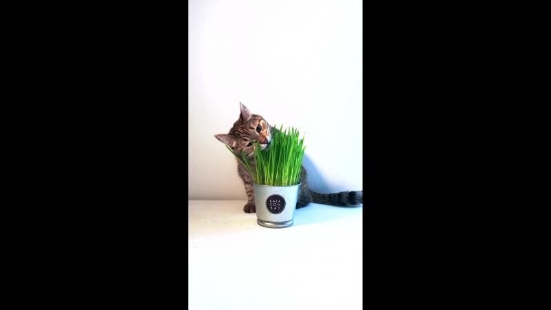 Рецепт приготовления травки для кота