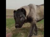 KangaL HD - Maşallah sivas aslanina.--Böyle bir köpeginiz...