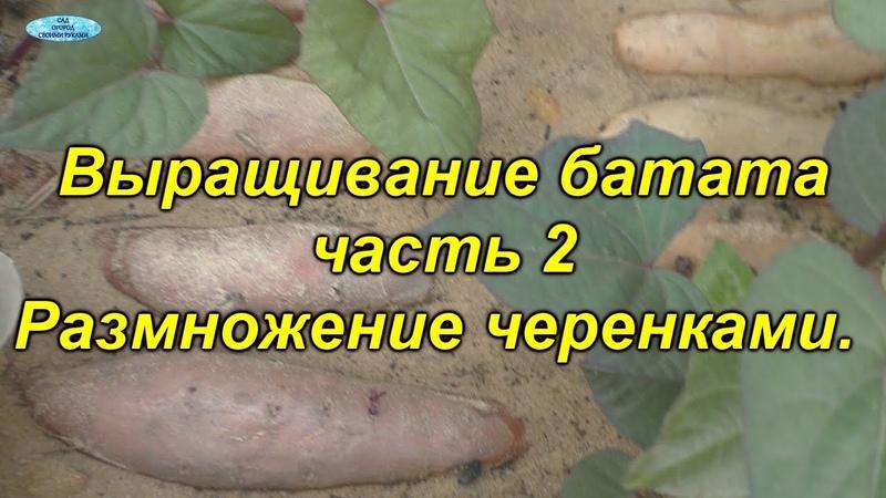 Выращивание батата 2 множественное черенкование рассады