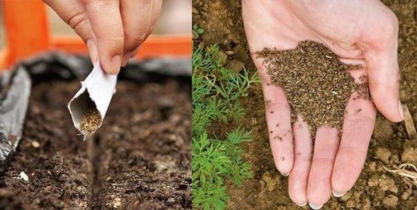 6 способов посадки морковки без прореживания