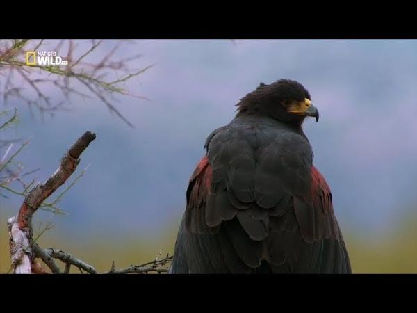 Nat Geo Wild Птичья популяция (1080р)