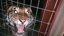 Best tiger roar ever !