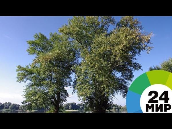 Тополь-исполин в Петербурге деревья-долгожители обзаведутся табличками - МИР 24