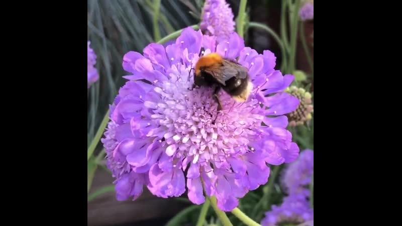 Мохнатые шмели 🐝 и бабочки 🦋 выстраиваются в очередь к нашим душистым цветам, в особенности к скабиозам и эхиноцеям 😎 ⠀ самыйлу