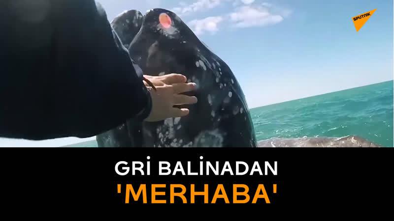 Dost canlısı gri balina yavrusu, araştırmacıların botuna yaklaşıp kendini okşattı