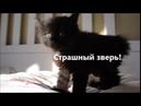Котенок курильского бобтейла боится и шипит