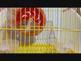 Momopi and Momoko Hamster