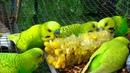 Male Budgies Parakeets Eating Corn Волнистых попугаев