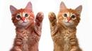 Как подружить Котов и Кошек