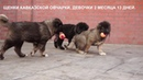 Продажа щенков Кавказской овчарки. r-risk 79262205603 Ягодкина Татьяна