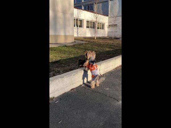 Yorkshire Terrier OriSilk Solaris and OriSilk Imagine