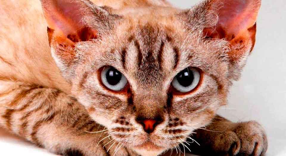 Можно кошку: породы, не вызывающие аллергию