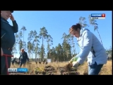 В окрестностях Липецка сажали сосны около Силикатных озер